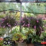 fleurs-cilaos