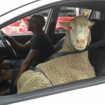mouton-voiture